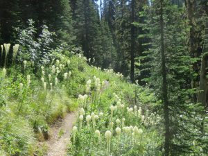 Whitefish Divide Trail (T26) near T3 intersection, July 12, 2017 - W. K. Walker