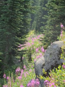 Fireweed below Nasukoin Lake, Aug 12, 2017 - W. K. Walker