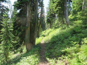Moran Basin Trail (Trail 2), mile 2, Flathead NF, July 10, 2014 - by W. K. Walker