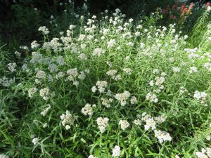 Pearly everlasting blooms along Antley Tepee Cr Trail No. 106, Aug 4, 2019 - W. K. Walker