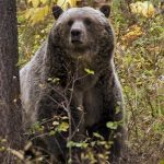Sow grizzly bear spotted near Camas in northwestern Montana. - Montana FWP